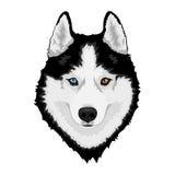 сибиряк собаки осиплый иллюстрация вектора