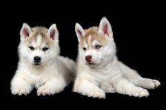 сибиряк щенка собаки осиплый Стоковая Фотография