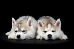сибиряк щенка собаки осиплый Стоковая Фотография RF