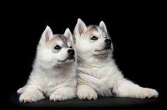 сибиряк щенка собаки осиплый Стоковые Изображения RF
