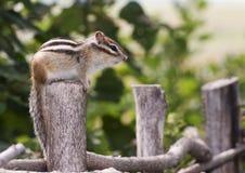 сибиряк chipmunk Стоковые Изображения