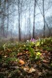 Сибиряк Erythronium в древесине Стоковое фото RF