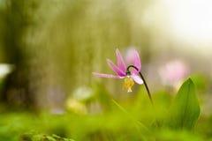 Сибиряк Erythronium Стоковые Изображения
