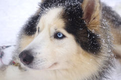 сибиряк eyed синью осиплый стоковые изображения