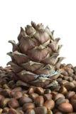 сибиряк nuts сосенки конуса Стоковое Фото