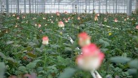 Сигналить вне взгляд на розах растя в питомнике сток-видео
