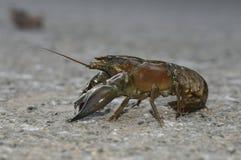 сигнал американских crayfish Стоковые Фото