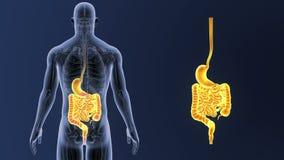Сигнал живота и кишечника с анатомией бесплатная иллюстрация