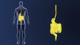 Сигнал живота и кишечника с анатомией иллюстрация вектора