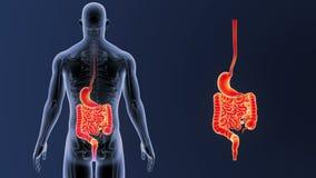 Сигнал живота и кишечника с каркасным телом бесплатная иллюстрация