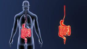 Сигнал живота и кишечника с органами иллюстрация штока