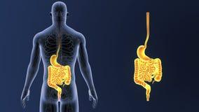 Сигнал живота и кишечника с циркуляторной системой иллюстрация штока