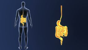 Сигнал живота и кишечника с циркуляторной системой иллюстрация вектора