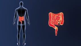 Сигнал кишечника с телом иллюстрация штока