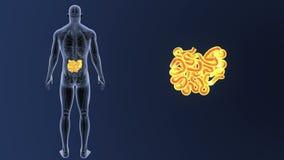 Сигнал тонкой кишки с анатомией сток-видео