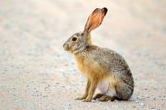 Сигнал тревоги scrub зайцы стоковое изображение rf