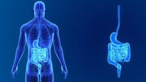 Сигнал живота и кишечника с анатомией иллюстрация штока