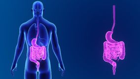 Сигнал живота и кишечника с органами иллюстрация вектора