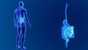 Сигнал живота и кишечника с скелетом бесплатная иллюстрация