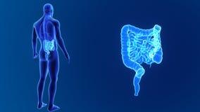 Сигнал кишечника с органами бесплатная иллюстрация