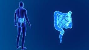 Сигнал кишечника с телом иллюстрация вектора