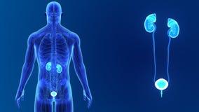 Сигнал мочевыделительной системы с анатомией сток-видео