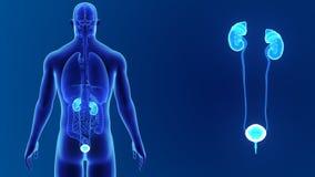 Сигнал мочевыделительной системы с органами сток-видео