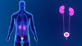 Сигнал мочевыделительной системы с органами видеоматериал