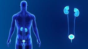 Сигнал мочевыделительной системы с скелетом сток-видео