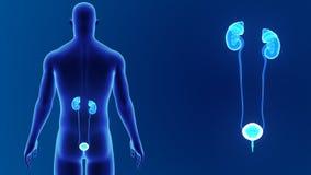 Сигнал мочевыделительной системы с телом сток-видео