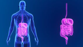 Сигнал пищеварительной системы с анатомией акции видеоматериалы
