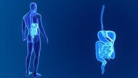 Сигнал пищеварительной системы с анатомией видеоматериал