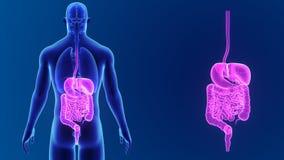 Сигнал пищеварительной системы с органами акции видеоматериалы