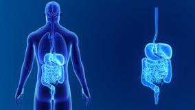 Сигнал пищеварительной системы с органами сток-видео