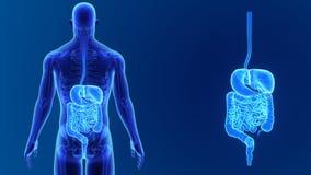 Сигнал пищеварительной системы с скелетом видеоматериал