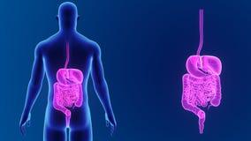 Сигнал пищеварительной системы с телом видеоматериал