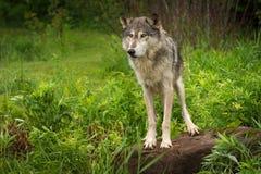 Сигнал тревоги волчанки волка серого волка на утесе Стоковые Фото