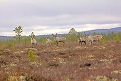 Сигнал тревоги северного оленя когда опасность угрожала Стоковая Фотография RF