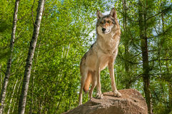 Сигнал тревоги серого волка (волчанки волка) на утесе Стоковые Изображения