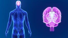 Сигнал человеческого мозга с анатомией видеоматериал