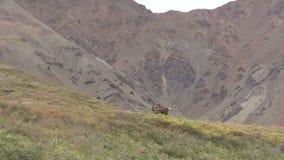 Сигнал Bull карибу неурожайной земли вне видеоматериал