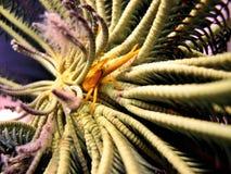сидение на корточках омара crinoid Стоковые Фотографии RF