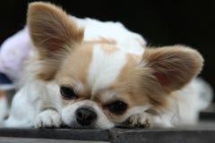 Сидение на корточках собаки на таблице Стоковые Фотографии RF