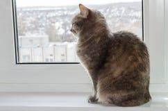 Сидеть кота коротких волос косой стоковые изображения rf