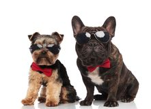 Сидеть солнечных очков и bowties элегантных пар собаки нося стоковое фото
