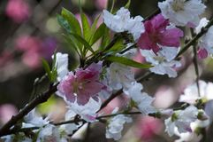 Сидней Австралия, цветения фруктового дерев дерева в весеннем времени Стоковые Фотографии RF
