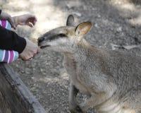 СИДНЕЙ, АВСТРАЛИЯ - SEPT. 15, 2015 - подавая кенгуру на Featherdale, Австралии Стоковое Изображение