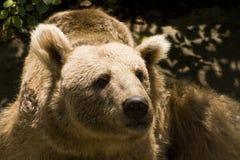 сиец медведя коричневый Стоковое фото RF