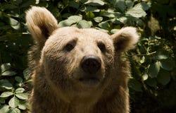 сиец медведя коричневый Стоковая Фотография