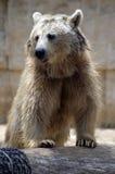 сиец медведя коричневый Стоковое Изображение
